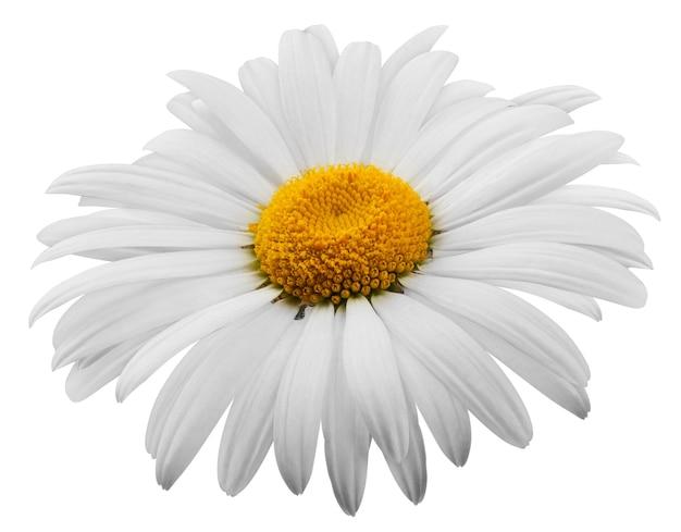 Piękny kwiat stokrotka na białym tle. clipping path