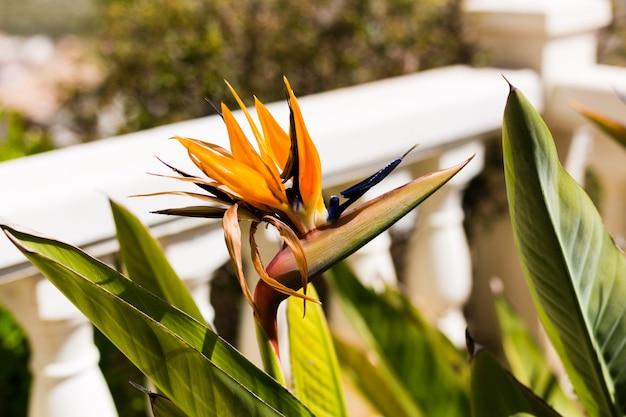 Piękny kwiat strelitzia reginae w ogrodzie.
