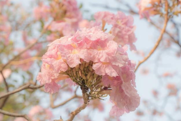 Piękny kwiat tabebuia rosea kwitnący w sezonie wiosennym