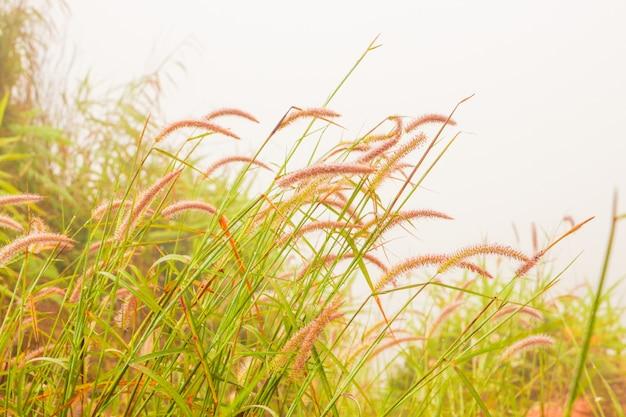 Piękny kwiat trawy z porannej mgle