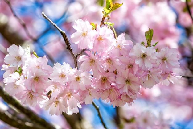 Piękny kwiat wiśni sakura w okresie wiosennym nad błękitne niebo