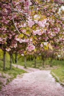 Piękny kwiat wiśni sakura w okresie wiosennym w parku centralnym