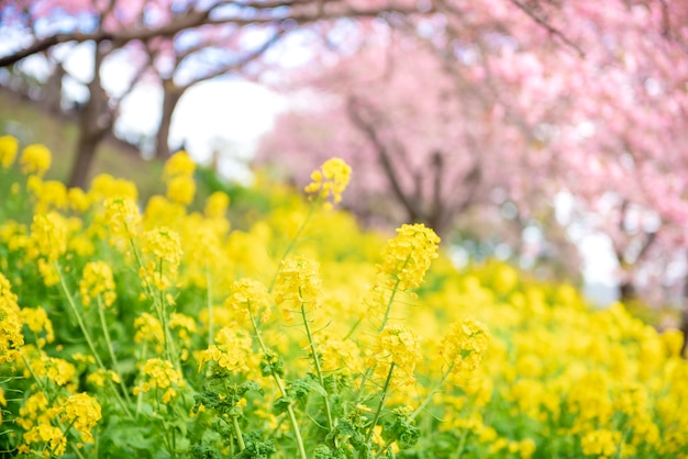 Piękny kwiat wiśni w matsuda, japonia
