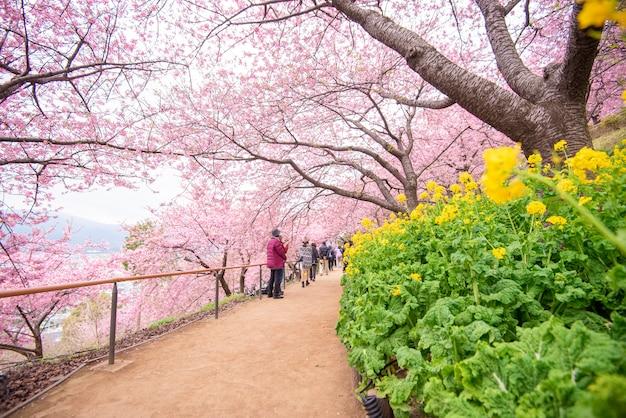 Piękny kwiat wiśni w parku