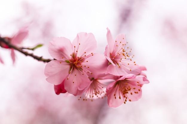 Piękny kwiat wiśni
