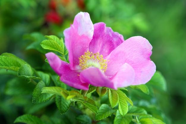 Piękny kwiat wrzośca