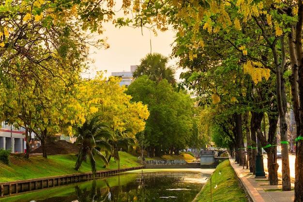 Piękny kwiat yellow cassia fistula (golden shower tree) kwitnący na drzewie wokół ściany fosy w chiang mai w północnej tajlandii.
