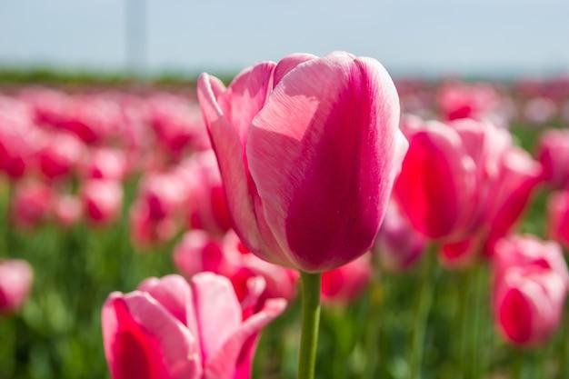 Piękny kwiatowy tło jasnych czerwonych tulipanów.