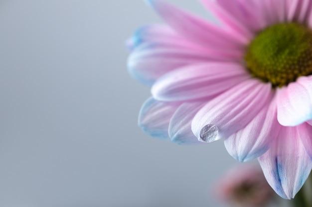 Piękny kwiatowy tło z kroplą deszczu na jasnym kwiatowym liściu, różowy i niebieski kwiat aster