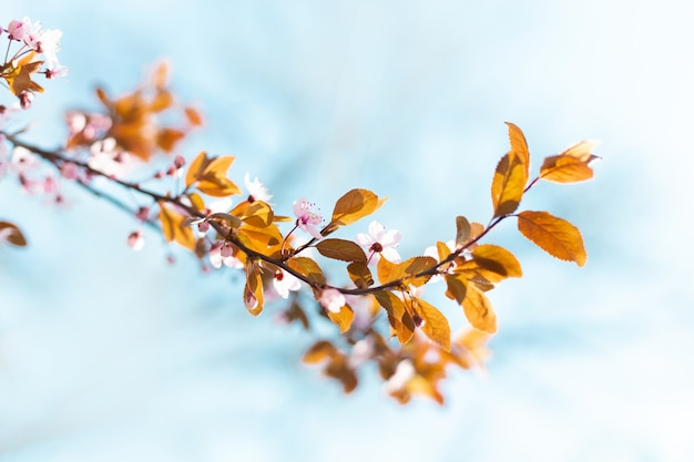 Piękny kwiatowy wiosna streszczenie tło natura z kwitnących gałęzi drzew w słońcu. skopiuj miejsce na tekst. baner poziomy. miękka selektywna ostrość