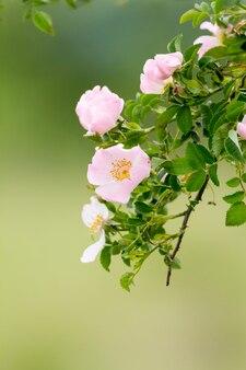 Piękny kwitnący dziki różany krzak