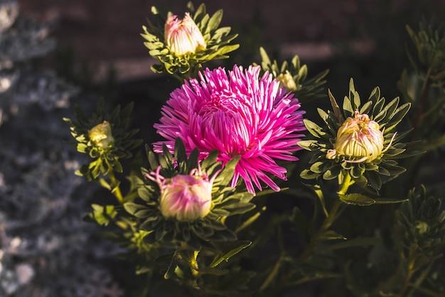 Piękny Kwitnący Kwiat. Letni Ogródek. Roślina Kwitnąca Z Różowymi Płatkami. Premium Zdjęcia