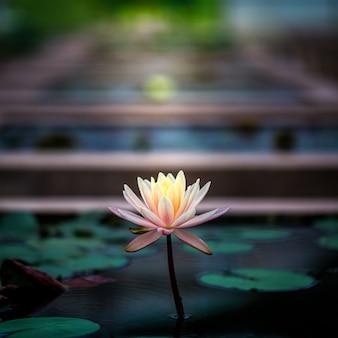 Piękny kwitnący kwiat lotosu lub lilia wodna w stawie