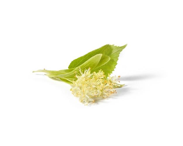 Piękny kwitnący lipa wielkolistna lub gałąź tilia pokryta małymi żółtymi aromatycznymi kwiatami na białym tle na białym tle, kopia przestrzeń. roślina lecznicza