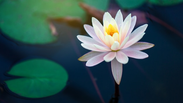 Piękny kwitnący lotus lub waterlily kwiat w stawie