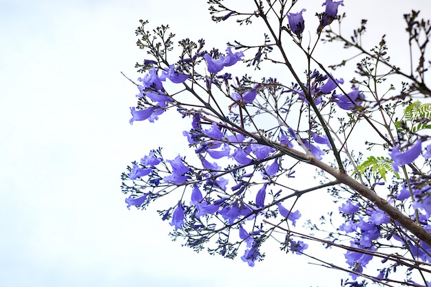 Piękny kwitnący purpurowy jacaranda drzewo na niebie