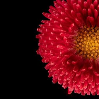 Piękny kwitnący różowy kwiat stokrotki gerbery na czarnym tle