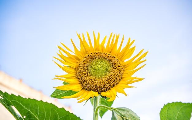 Piękny kwitnący słonecznik w katmandu nepal