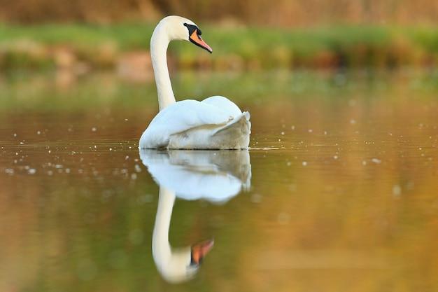 Piękny łabędź na jeziorze niesamowity ptak w naturalnym środowisku