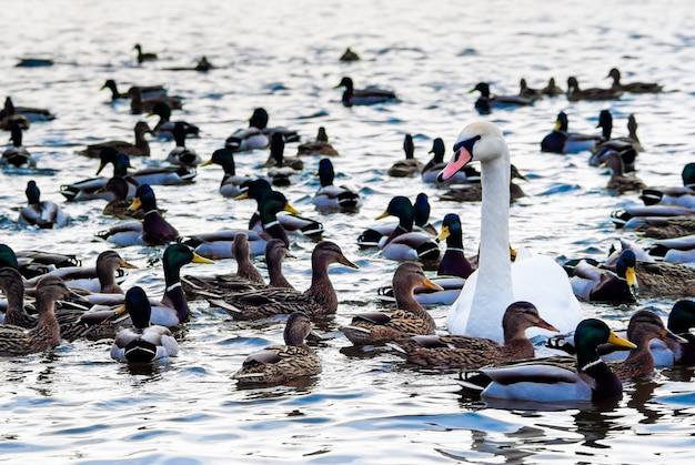Piękny łabędź otoczony kaczką stada w wodzie w słoneczny zimowy dzień