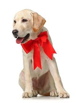 Piękny labrador retriever z czerwoną kokardą na białym tle na białej powierzchni