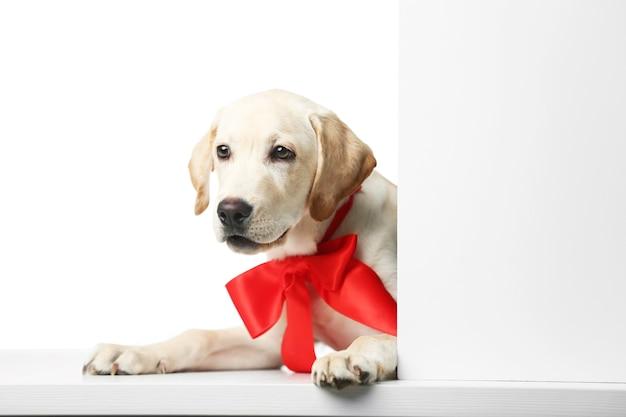 Piękny labrador retriever z czerwoną kokardą na białym tle