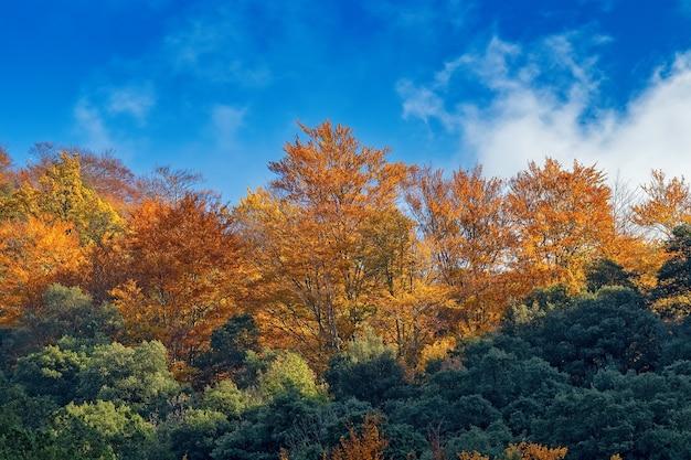 Piękny las bukowy jesienią w pobliżu miasta olot w hiszpanii, la fageda