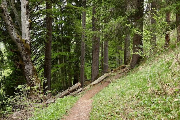 Piękny las z dużą ilością zielonych drzew i roślin