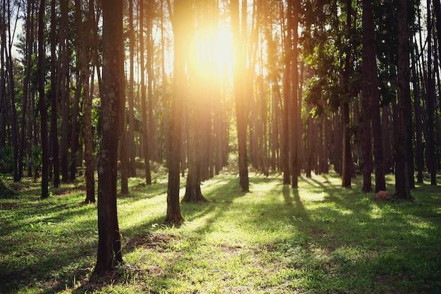 Piękny las z wieloma drzewami, przez które prześwituje światło słoneczne.