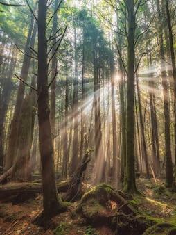 Piękny las z wysokimi drzewami