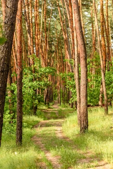 Piękny las z wysokimi sosnami poza miastem w ciepły letni dzień. letnie wakacje na łonie natury