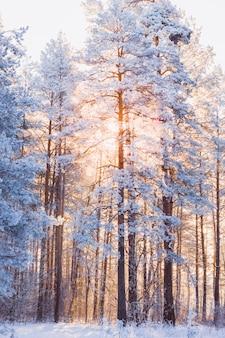 Piękny las zimowy krajobraz z sosny