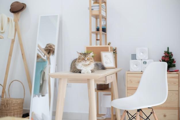Piękny leniwy perski kot kłama w dekorującym pokoju
