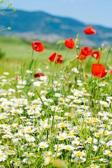 Piękny letni krajobraz górski z czerwonymi kwiatami maku i rumianku.