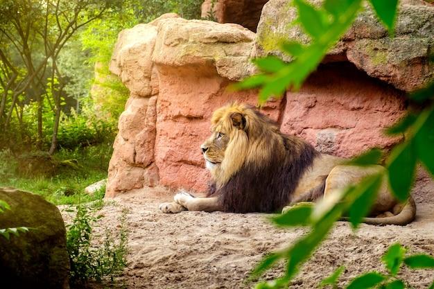 Piękny lew leżący w dżungli