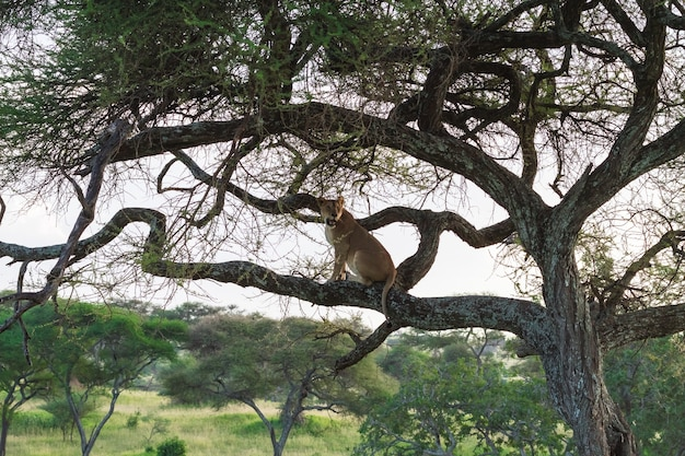 Piękny lew siedzący na gałęzi drzewa