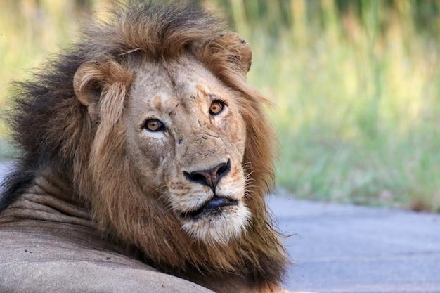 Piękny lew w afrykańskiej sawannie. dzika przyroda w niesamowitym krajobrazie afryki południowej. podróż do parków narodowych.