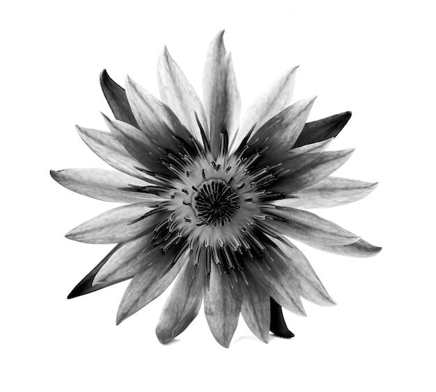 Piękny lotos (pojedynczy kwiat lotosu na białym tle)