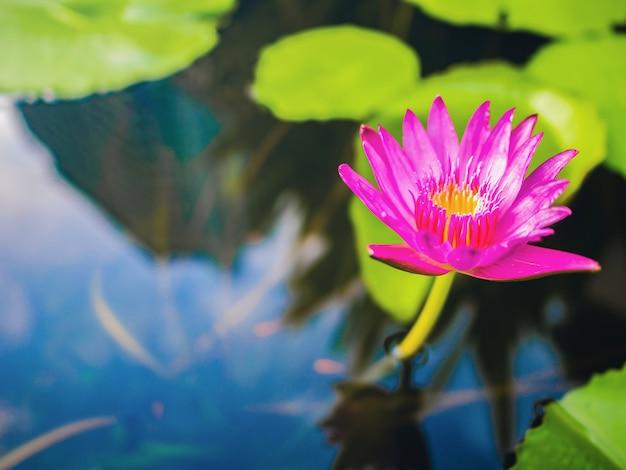 Piękny lotos z zielonym liściem w wodnym stawie