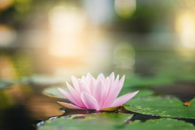 Piękny lotosowy kwiat na wodzie po deszczu w ogródzie.