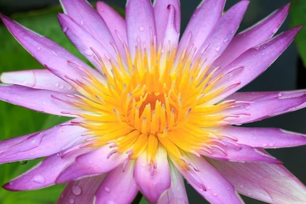 Piękny lotosowy kwiat zamazuje lub zamazuje miękką ostrość