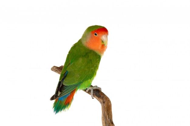 Piękny lovebird na gałąź