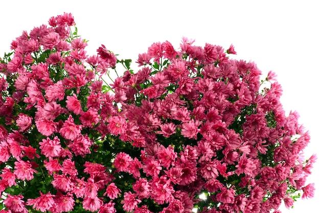 Piękny magenta chryzantema kwiat jesień żywe tło (z rosą, na białym tle)