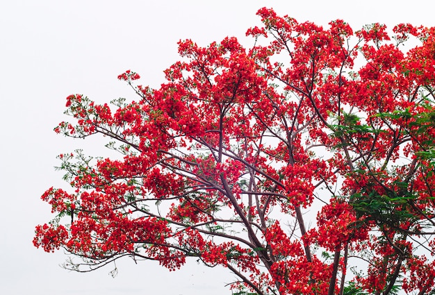 Piękny małpi kwiatu drzewo lub ogień pakistan w tajlandia odizolowywamy na biel ścianie