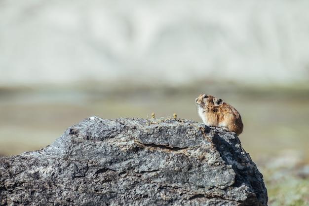 Piękny mały gryzoń pika siedzi na gorącym kamieniu w słoneczny letni dzień. mały gryzoń pika wygrzewa się w słońcu na skale. małe futrzaste zwierzę siedzi na głazie pod pustynnym słońcem. ładny mały ssak na tle bokeh.