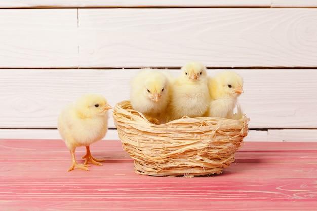 Piękny mały kurczak w gnieździe
