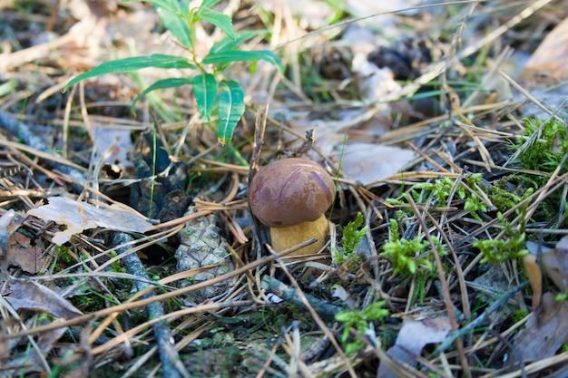 Piękny mały rosnący grzyb w jesiennym lesie w pobliżu stożka
