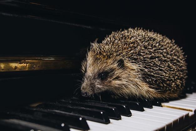 Piękny mały szary jeż siedzi na klawiszach fortepianu. gra na fortepianie szkoła muzyczna, koncepcja edukacji, początek roku, kreatywność. instrument muzyczny, klasyczny, melodia. kufa z bliska.