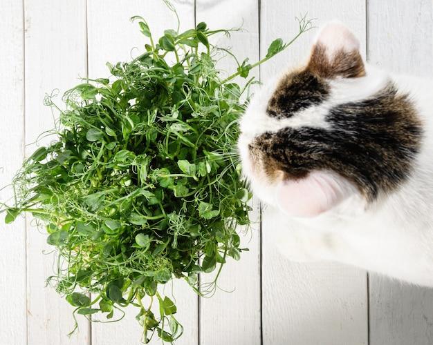 Piękny młody biały kociak, zainteresowany młodymi kiełkami zielonego groszku, na białej drewnianej powierzchni