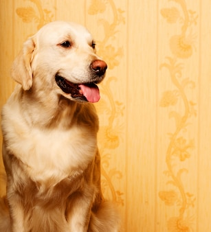 Piękny młody golden retriever pies fotografujący w domu